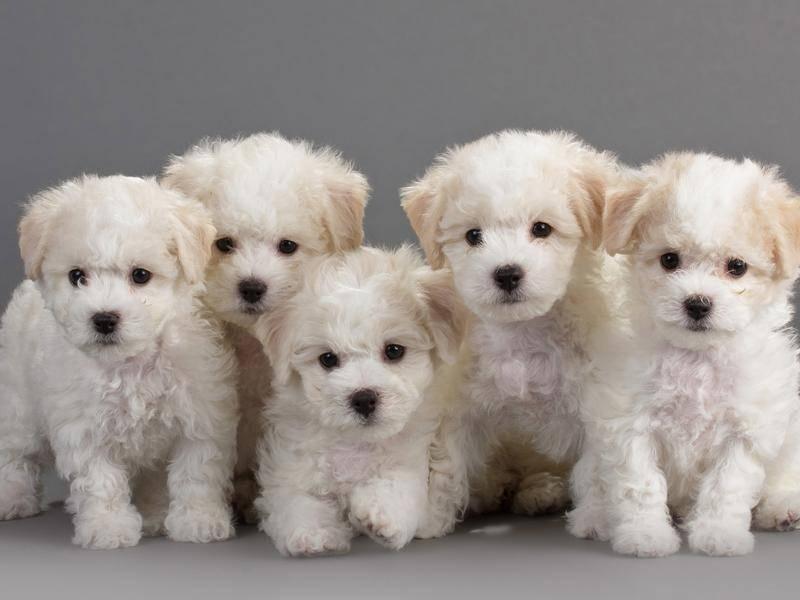 Als Welpen sind sie besonders goldig – Bild: Shutterstock / Medvedev Andrey