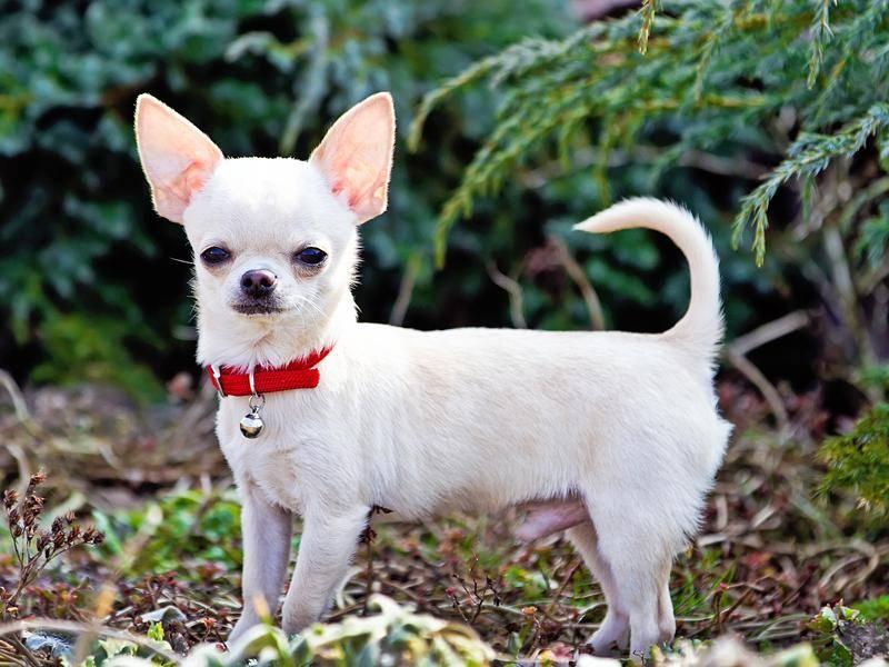 Chihuahuas sind bekanntermaßen die kleinste Hunderasse der Welt – Bild: Shutterstock / Little Moon