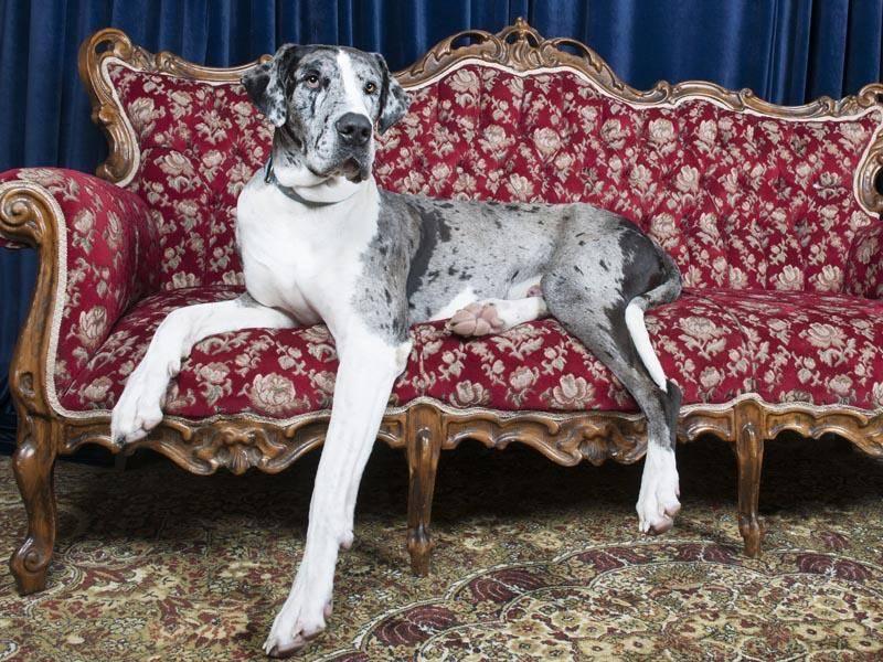 Noch größer ist fast nur die Deutsche Dogge – Bild: Shutterstock / Elsa Hoffmann