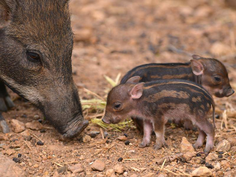 Frischlinge von Wildschweinen erkennt man an den typischen Streifen – Bild: Shutterstock / Rita Doksiene