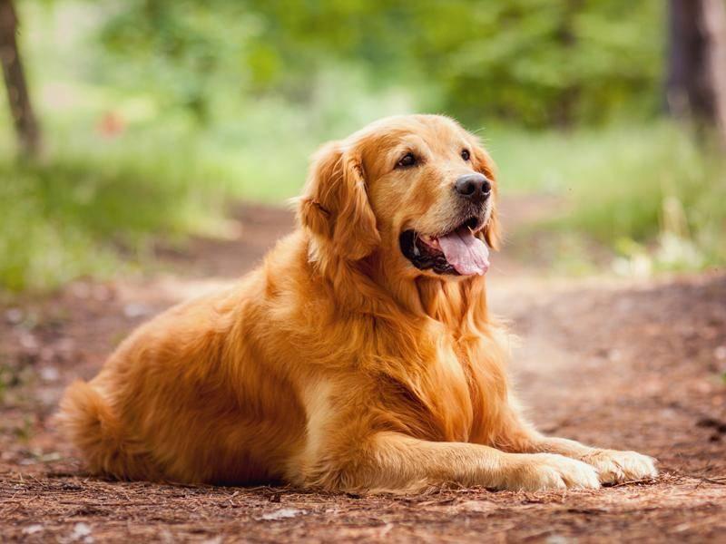 Wer lieber einen größeren Hund möchte, kann sich einen Golden Retriever anschaffen – Bild: Shutterstock / Olena Brodetska