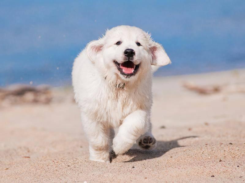 Die beliebten Familienhunde sind ebenfalls gut für Anfänger geeignet – Bild: Shutterstock / otsphoto