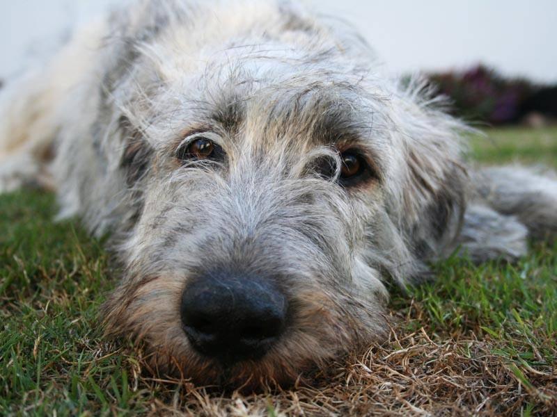 Irische Wolfshunde gehören zu den größten Hunderassen der Welt – Bild: Shutterstock /Poppography