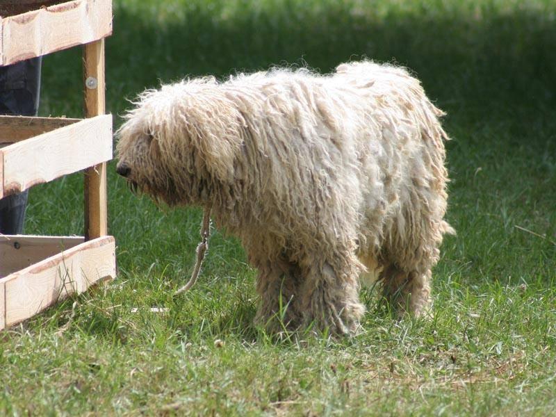 Der Komondor ist ein Hirtenhund, der ursprünglich aus Ungarn stammt – Bild: Shutterstock / Piotr Zajac