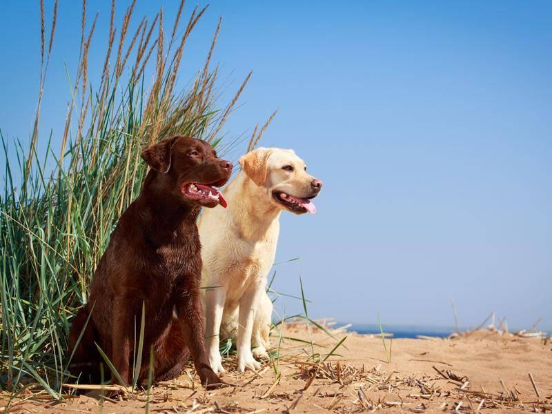 Genau wie ihr Verwandter, der Labrador – Bild: Shutterstock / DragoNika