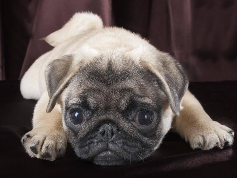 Den Hundeblick hat dieser kleine Mini-Mops super drauf – Bild: Shutterstock /Akitameldes