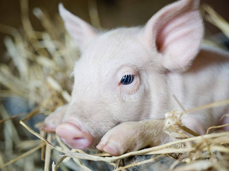 So viel Aufregung macht ein kleines Schweinchen ganz schön müde – Bild: Shutterstock / Rita Doksiene