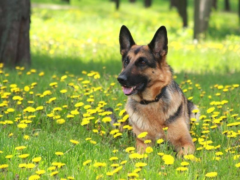 Deutsche Schäferhunde sind beliebte Familienhunde – Bild: Shutterstock / Nataliya Ostapenko