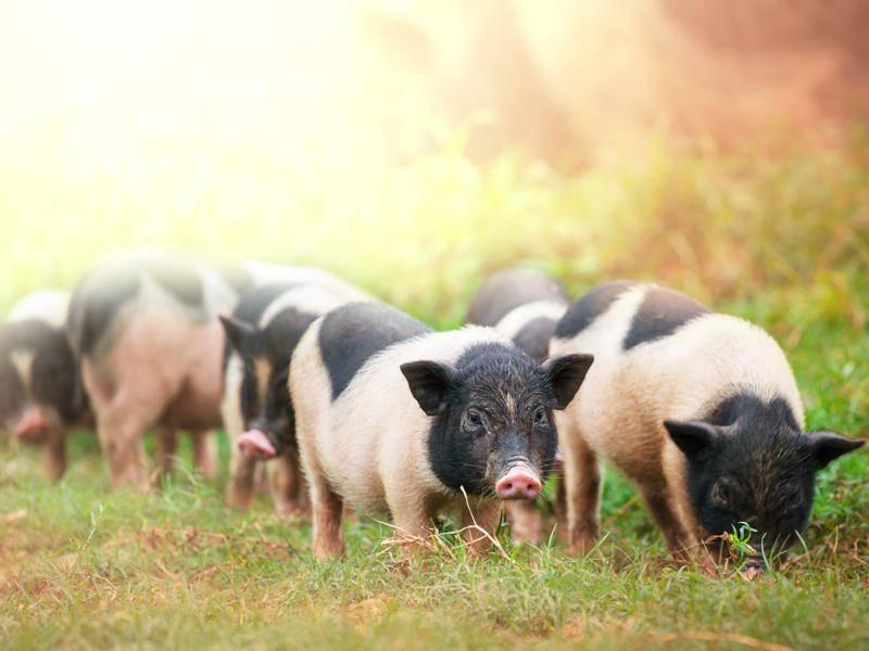 In Vietnam haben die Schweine eine besonders interessante Färbung – Bild: Shutterstock / Galyna Andrushko