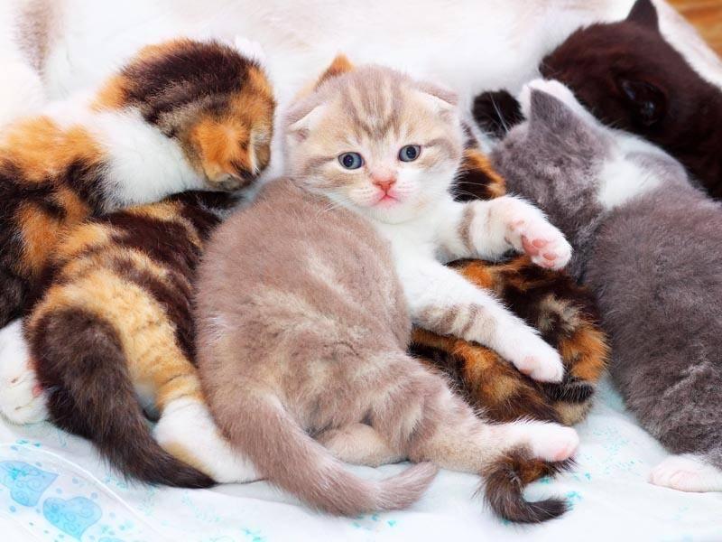 Bei einem Wurf Katzenbabys können aber auch welche mit aufgestellten Ohren dabei sein – Bild: Shutterstock / ESOlex