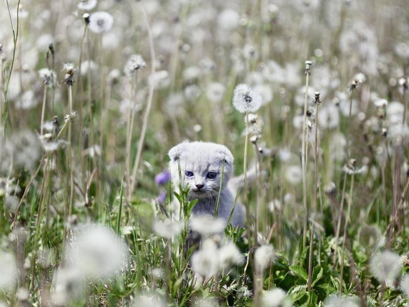Diese kleine Scottish Fold spielt wohl Verstecken – Bild: Shutterstock / Ludmilla Yilmaz