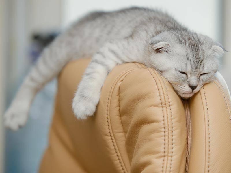Schlafen tut sie – wie allen Katzen – gerne und viel – Bild: Shutterstock / Krylova Ksenia