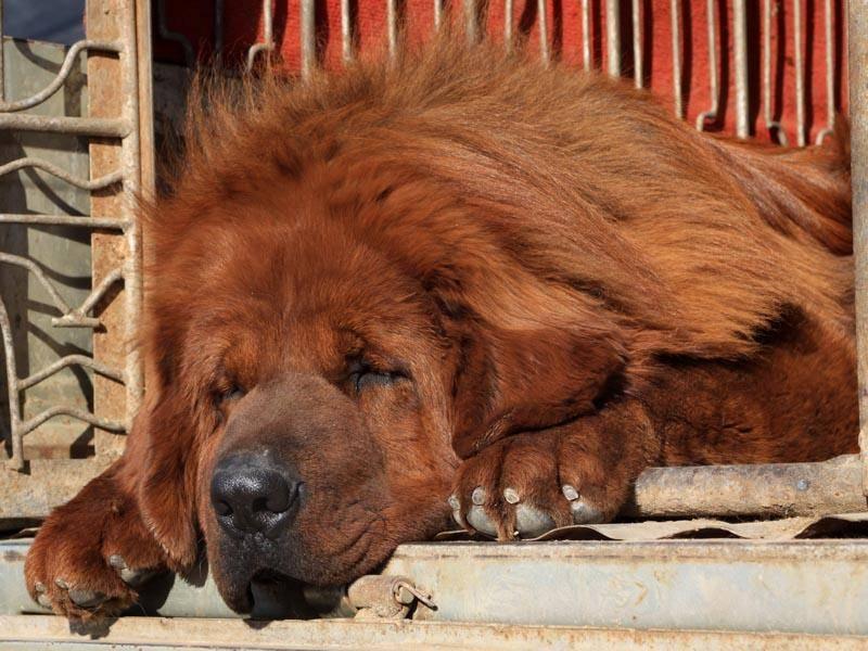 Die tibetische Dogge erinnert fast an einen Löwen – Bild: Shutterstock / chinahbzyg