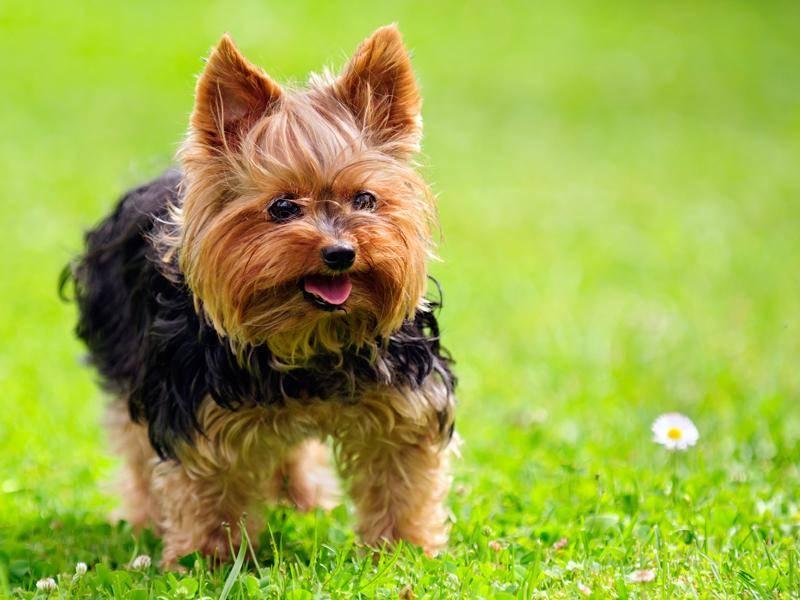 Der zarte Yorkshire Terrier gehört auch zu den Kleinen unter den Hunden – Bild: Shutterstock / Imageman