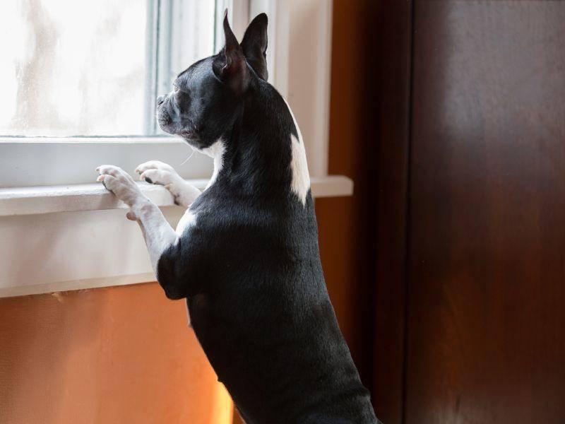 Der anhängliche Boston Terrier passt gut auf seine Besitzer auf – Bild: Shutterstock / Jennay Hitesman