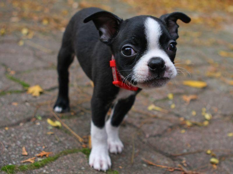 Und wenn er seinen schönsten Hundeblick aufsetzt, sieht das so aus! Der anhängliche Boston Terrier passt immer gut auf seine Besitzer auf – Bild: Shutterstock / Ron Rowan Photography