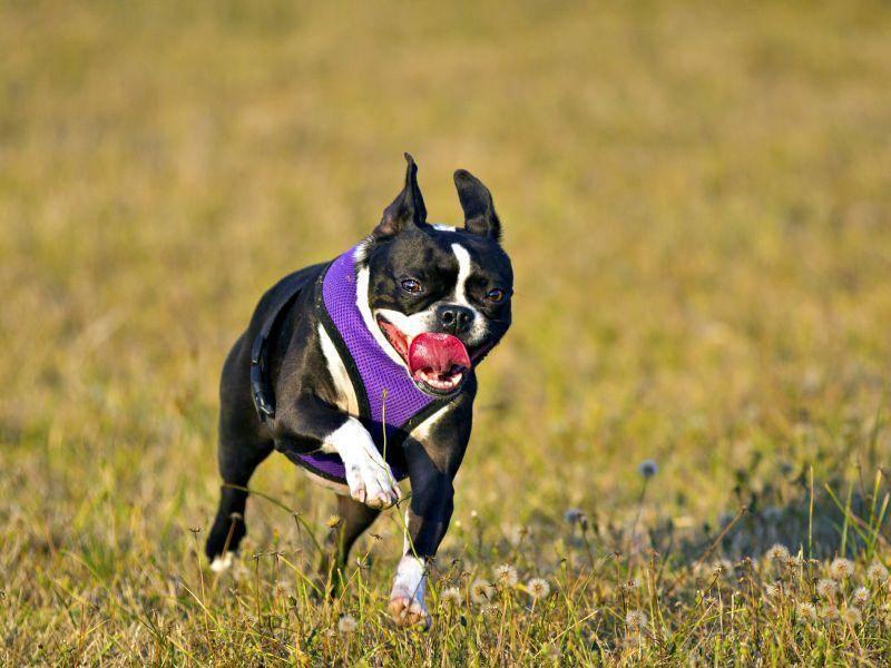 Rennen und Spielen sind die Leidenschaft des aktiven Hundes. Jagdtrieb hat er keinen – Bild: Shutterstock / Paul Fell