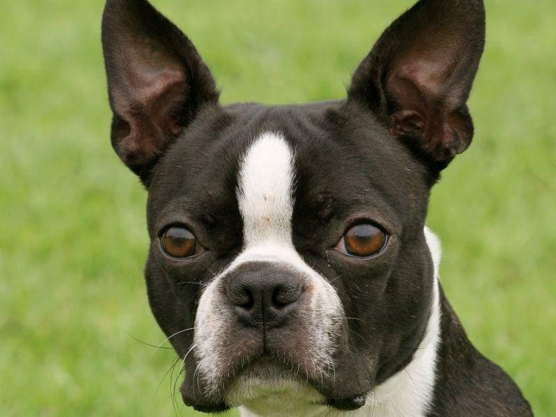 Die Einkreuzung der Französischen Bulldogge sieht man dem Boston Terrier an – Bild: Shutterstock / Capture Light