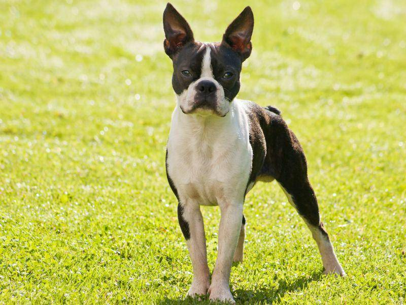 Liebevoll, selbstbewusst und unternehmungslustig: Das ist der Boston Terrier – Bild: Shutterstock / Lenka N