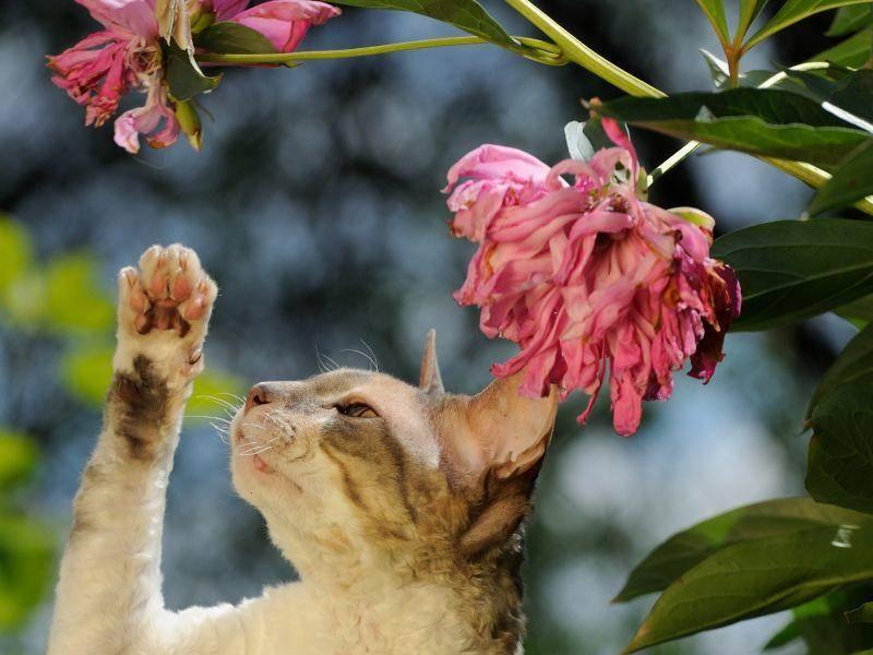 Klug, freundlich, treu und aktiv: Das ist die Cornish-Rex-Katze – Bild: Shutterstock / Imageman