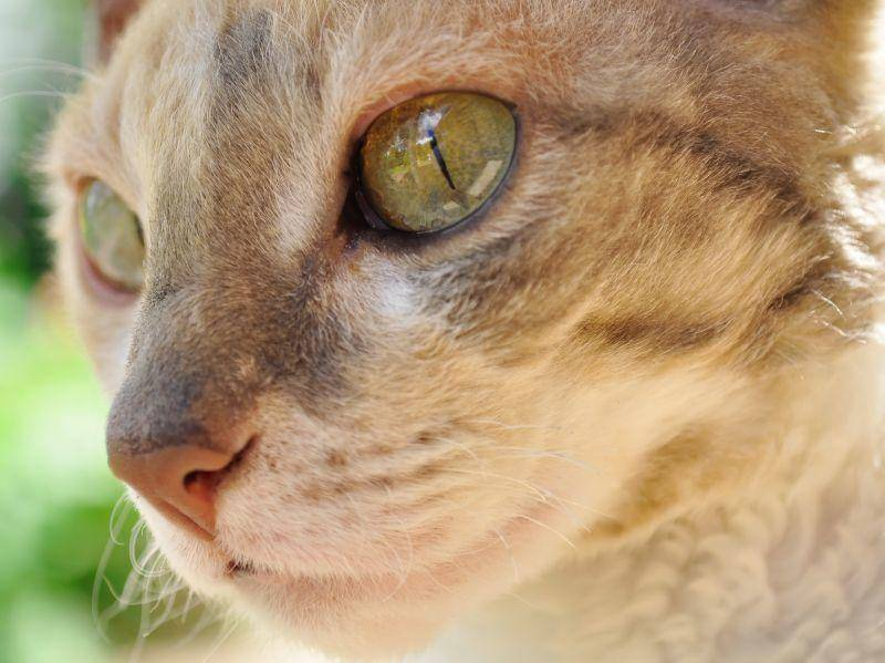 Auch Schnurrhaare und Augenbrauen der Katze sind leicht gewellt – Bild: Shutterstock / Imageman