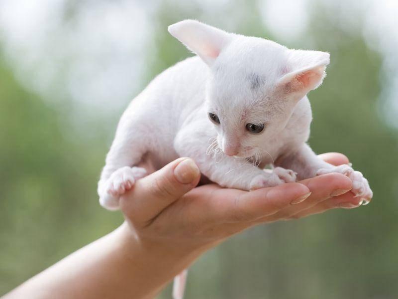 Willkommen auf der Welt, kleine Cornish Rex! Katzen dieser Rasse sollten nicht allein gehalten werden – Bild: Shutterstock / Oleg Kozlov