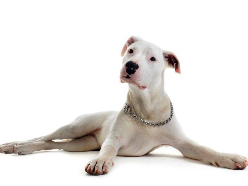 Ausgewachsen sieht er so aus – Bild: Shutterstock / cynoclub