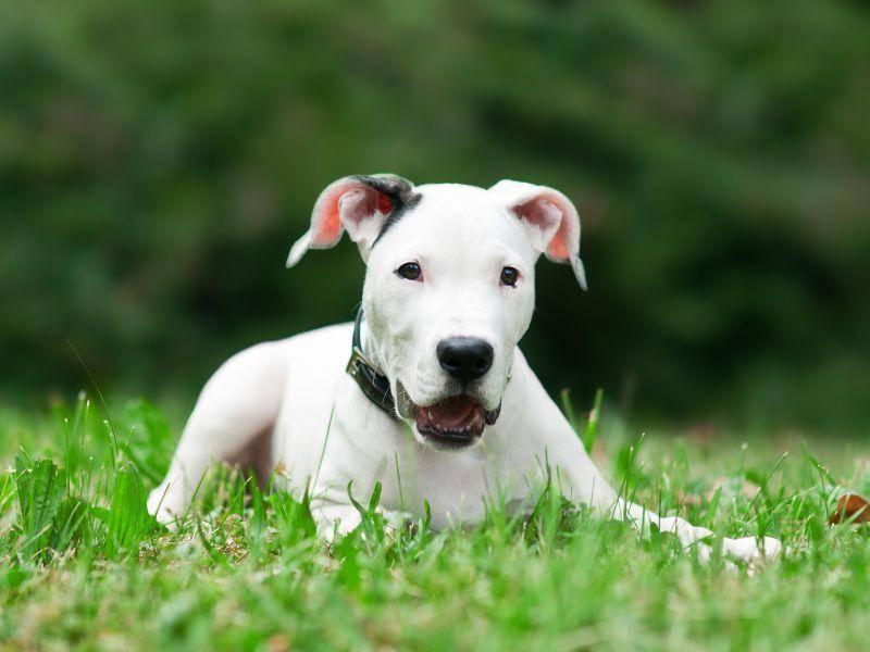 Ein brauner Fleck am Kopf ist sehr häufig bei dem Dogo Argentino – Bild: Shutterstock / dean bertoncelj