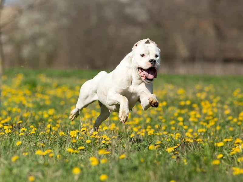 Der Dogo Argentino bewegt sich gerne und das sieht man ihm auch an – Bild: Shutterstock / Budimir Jevtic