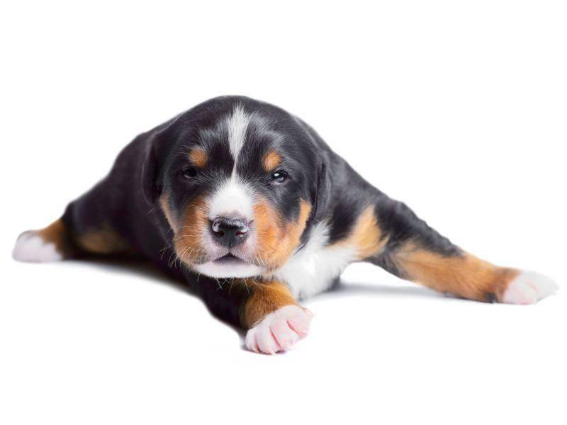 So treu ist der Hundeblick des Entlebucher Sennenhunds – Bild: Shutterstock / Makarova Viktoria