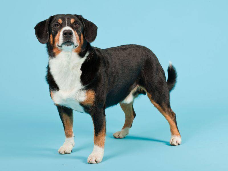 Ausgewachsen bekommt er dann eine Widerristhöhe von 40 bis 50 cm – Bild: Shutterstock / Ysbrand Cosijn