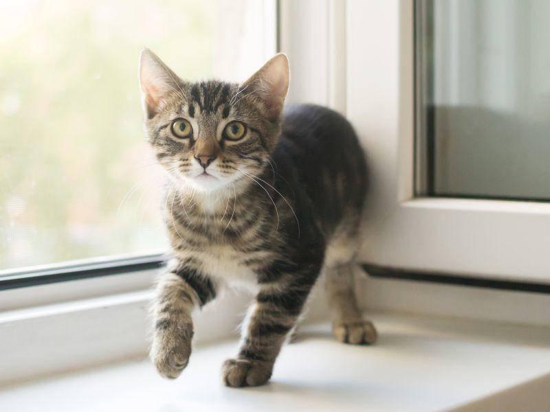 """""""Ist da etwa eine Fliege hereingeflogen?"""" Tigerkätzchen schleicht sich am Fenster herum – Bild: Shutterstock / hannadarzy"""