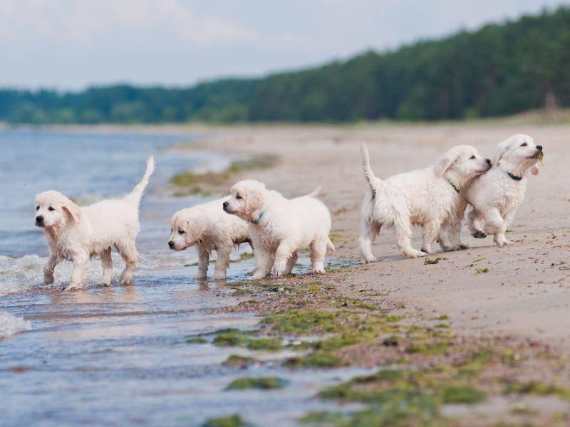 Toller Ausflug unter Welpen: Diese kleinen Golden Retriever haben Spaß am Strand! – Bild: Shutterstock / otsphoto
