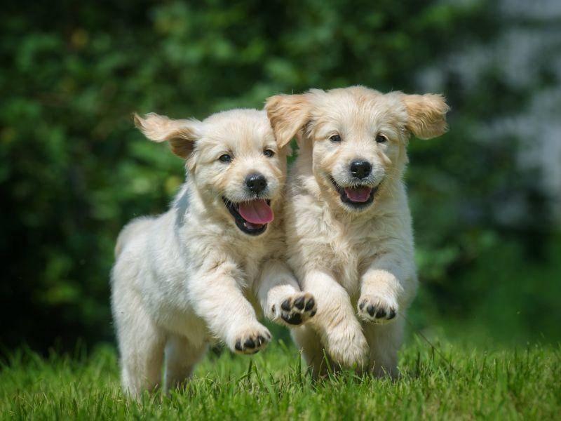 Wettrennen mit den Welpengeschwistern, das macht kleinen Golden Retrievern Spaß! – Bild: Shutterstock / rientgold