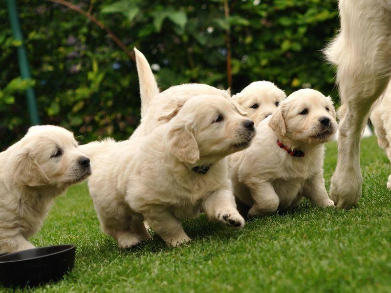Ausflug mit der Hundemama: Für Golden-Retriever-Welpen genau richtig! – Bild: Shutterstock / Stanislav Duben