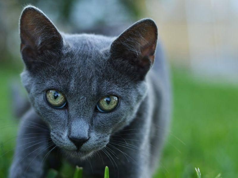 Fast wie eine Wildkatze sieht diese graue Schönheit beim Schleichen aus – Bild: Shutterstock / Maly Designer