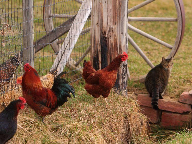 Hühner und Katzen: Auf dem Bauernhof keine seltene Begegnung – Bild: Shutterstock / James BO Insogna