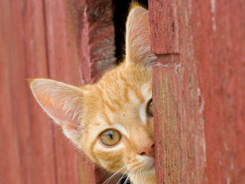 Diese rote Katze ist gern auf dem Bauernhof, weil man sich da so schön verstecken kann! – Bild: Shutterstock / Shawn Hine