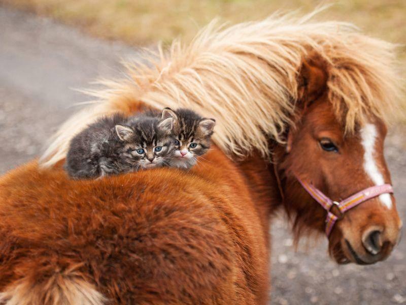 """""""Das größte Glück der Erde, liegt auf dem Rücken der Pferde"""", finden diese Katzenbabys – Bild: Shutterstock Rita Kochmarjova"""