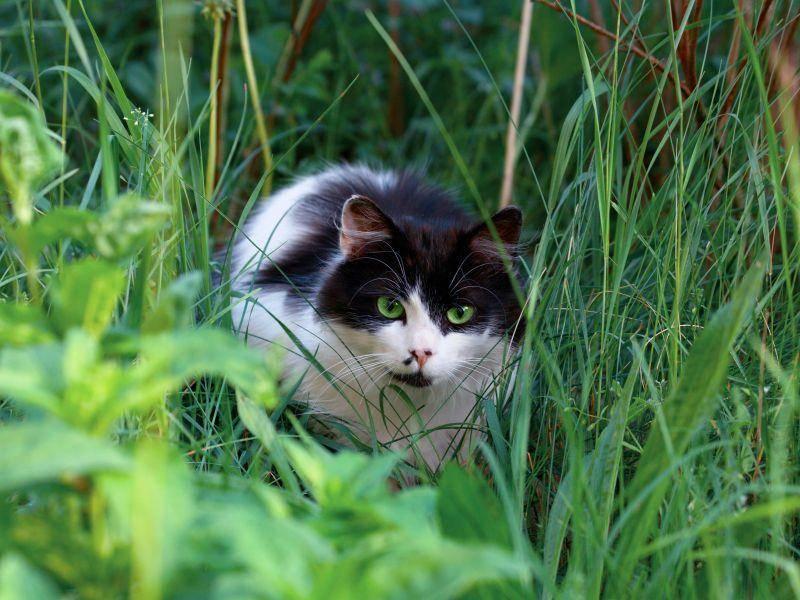 """""""Schleichen im Garten, das macht Spaß!"""", findet diese schöne Katze – Bild: Shutterstock / vvvita"""