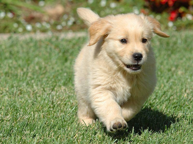 """Süßer kleiner Golden Retriever: """"Guckt mal, ich kann schon rennen!"""" – Bild: Shutterstock / George Lamson"""