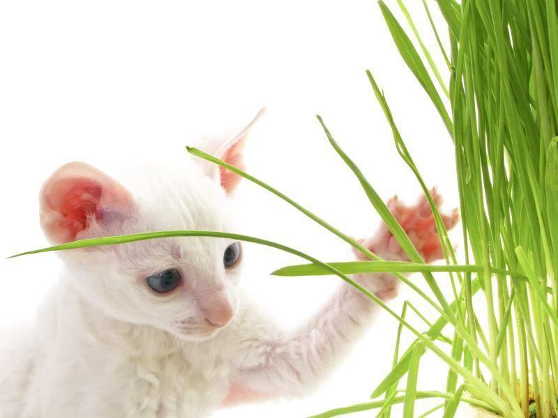 Cornish-Rex-Katzen sind neugierig und verspielt – Bild: Shutterstock / Imageman