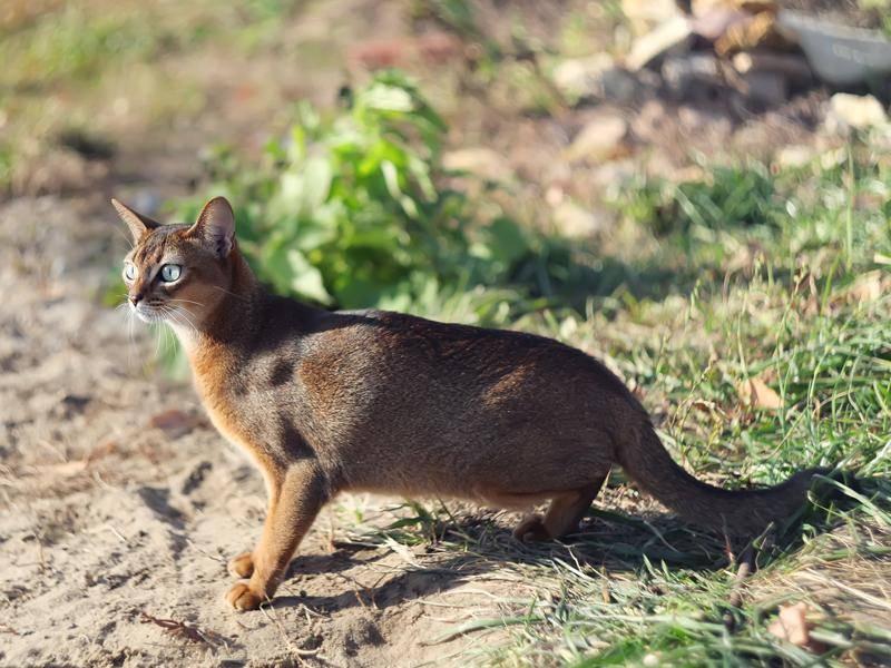 Die südostasiatische Abessinierkatze erinnert an einen kleinen Puma – Bild: Shutterstock / Pshenina_m
