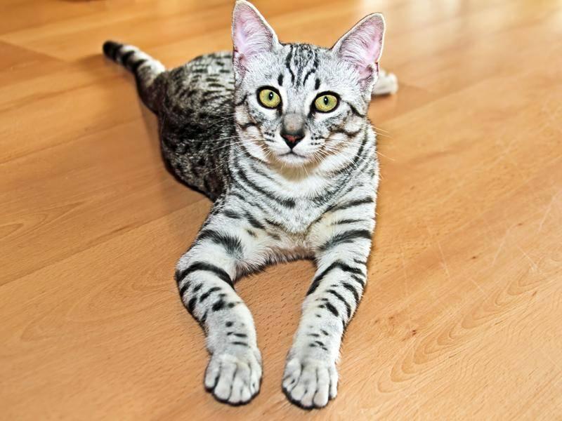 Die Ägyptische Mau gilt als eine der schnellsten unter den Samtpfoten – Bild: Shutterstock / devy