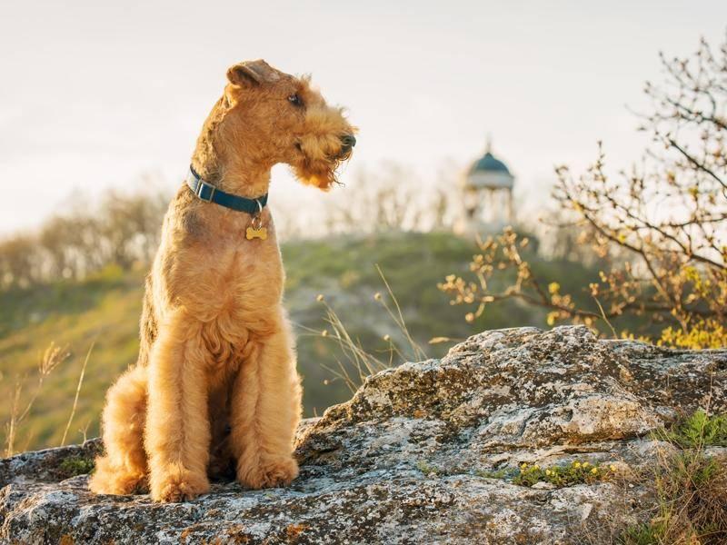 Airedale Terrier fühlen sich auch in turbulenten Familien wohl – Bild: Shutterstock / Roman Zhuravlev