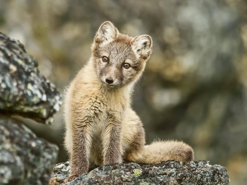 Hallo, kleiner Polarfuchs! – Bild: Shutterstock / FloridaStock