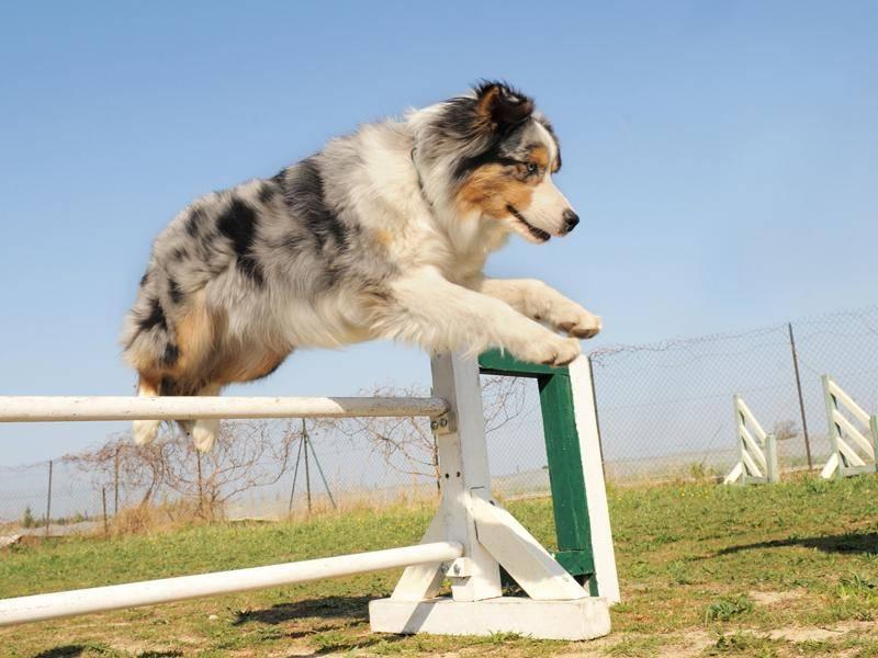 Australian Shepherds sind nicht nur tolle Familienhunde, sie freuen sich auch über aktiven Hundesport – Bild: Shutterstock / cynoclub