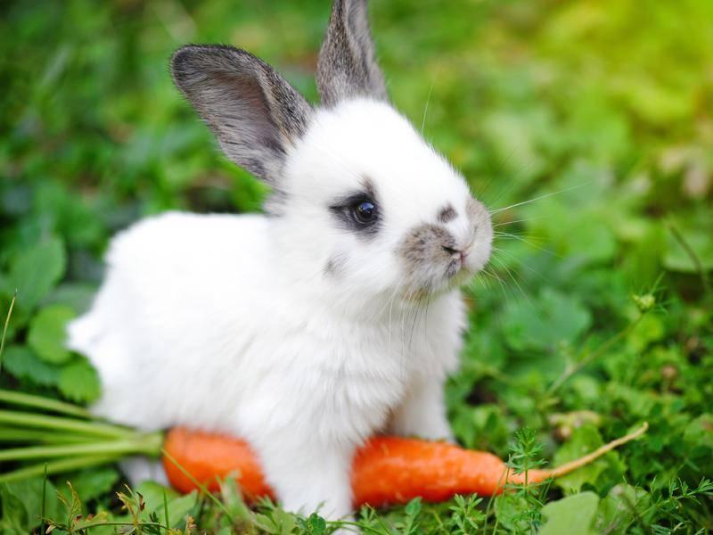 Das Mini-Kaninchen ist aufmerksam, passt aber trotzdem auf seine Möhre auf – Bild: Shutterstock / Nataliia Melnychuk