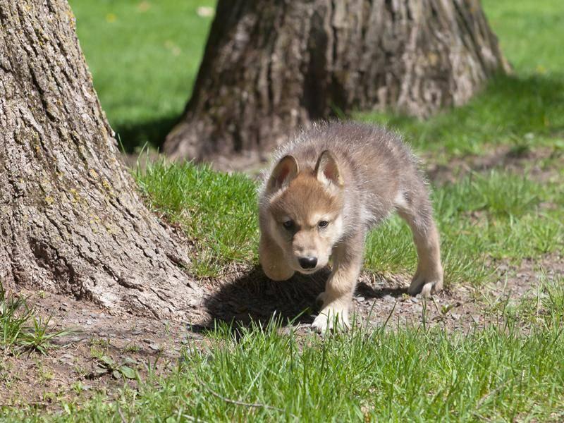 Der kleine Wolf geht das schon etwas forscher vor auf seiner Erkundungstour – Bild: Shutterstock / Critterbiz