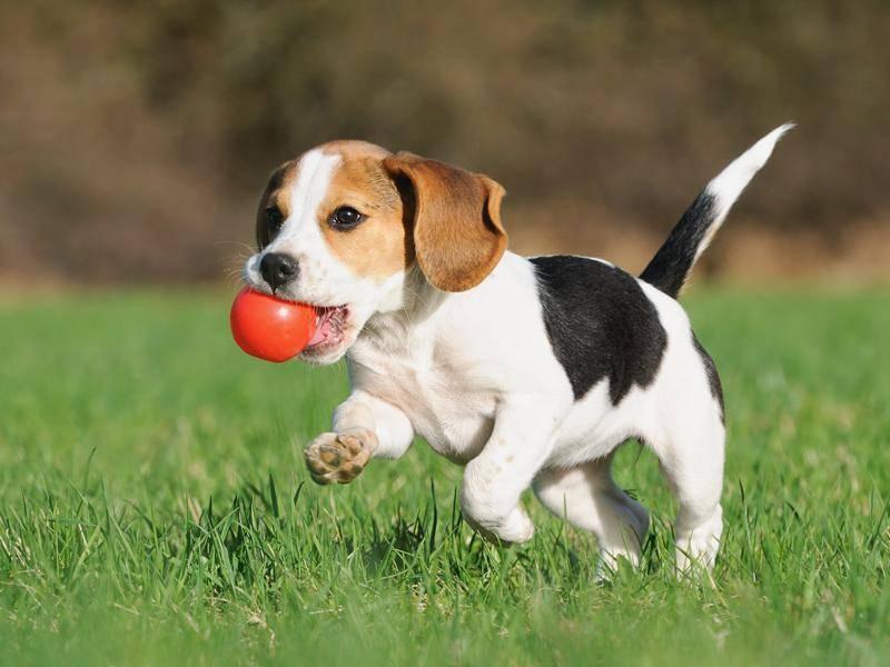 Der schlaue Beagle eignet sich auch prima für die Haltung in der Familie – Bild: Shutterstock / AnetaPics